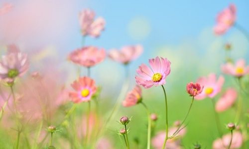 Pinkkeja-kukkia